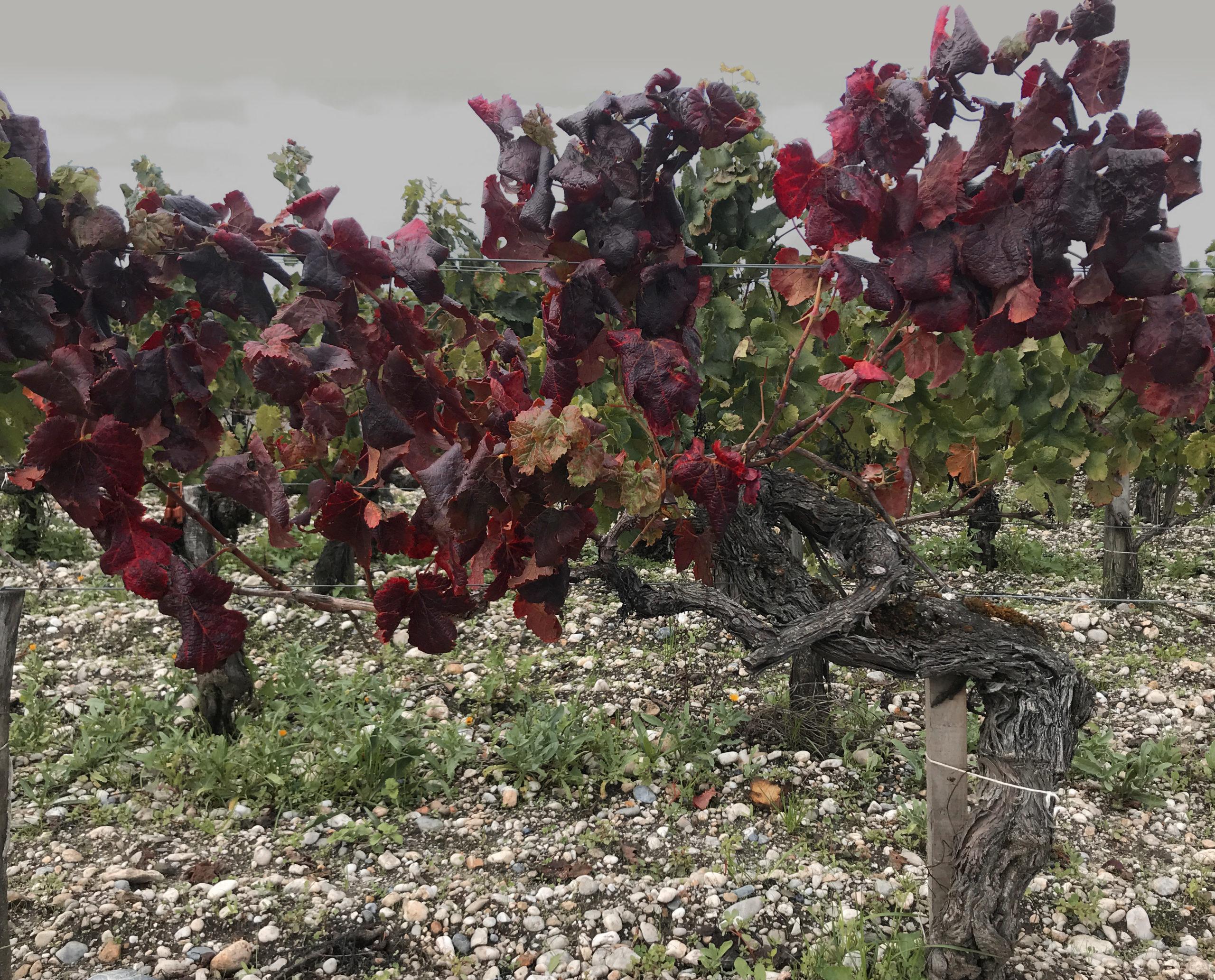No18 - Pied de vigne
